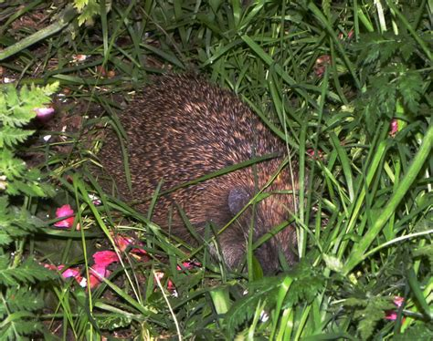 Hs2 To Claim Central London S Last Hedgehog Stronghold