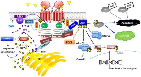 g protein pathway g protein signaling pathways activated by mglur1a this