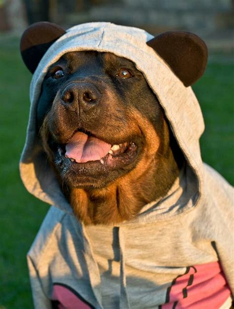 rottweiler clothes 25 best ideas about rottweiler on menes mad meme and
