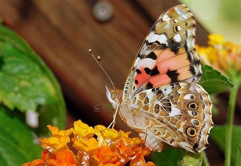 photo vanessa cardui butterfly insect  image