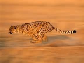 Jaguar Running Speed Cheetah Sprinting After Prey