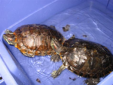 Do Eared Sliders Shed by General Care Of Aquatic Turtles Chicago Exotics Animal
