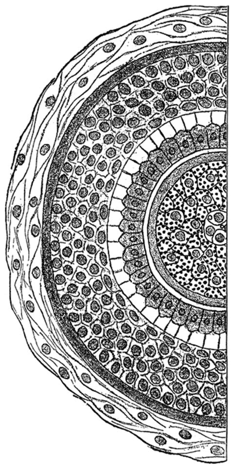 cross section of hair cross section of a human hair clipart etc