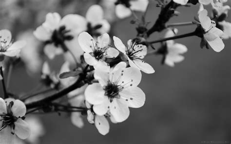 Permalink to Flower Images Hd Black And White