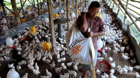 Bibit Ayam Medan harga ayam doc naik peternak mulai mengeluh tribunnews