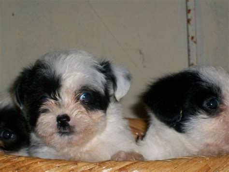 shih tzu and a bichon frise bichon frise shih tzu mix puppies breeds picture