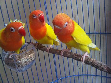 Pakan Lolohan Lovebird Terbaik lovebird lutino daftar harga cara perawatan dan foto