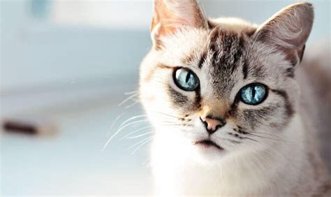 gatto siamese alimentazione gatto siamese carattere e caratteristiche gatto