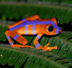 colored frogs bluefire frog colored creatures
