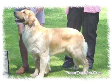 size of a golden retriever golden retriever size per month dogs in our photo