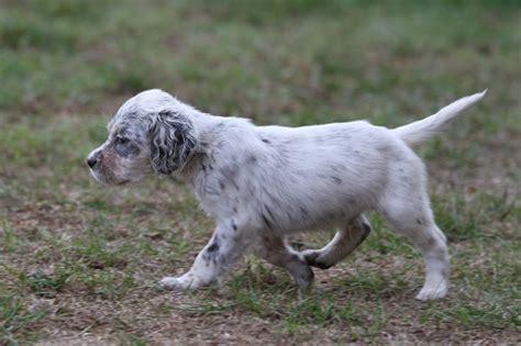 definition de setter harley roc mignon 233 levage de chien de chasse setter