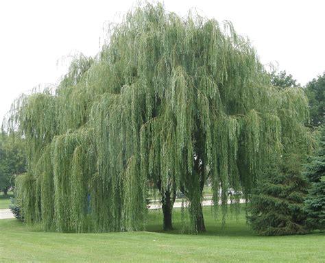 tree water aspirin the discreet witch magical aspirin