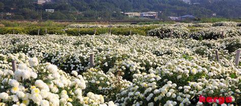 Pasaran Mixing White daftar harga berbagai jenis bunga krisan di pasaran