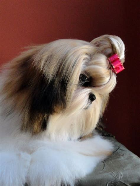 best in show shih tzu 66 best images about haired shih tzu on hair dos show and