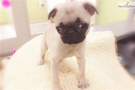 pug puppies ny pug puppy for sale near new york city new york 39288768