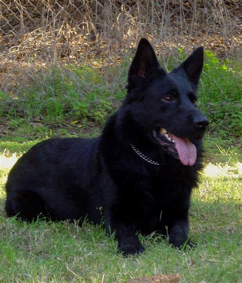 black german shepherd black and bi colorgerman shepherd sires