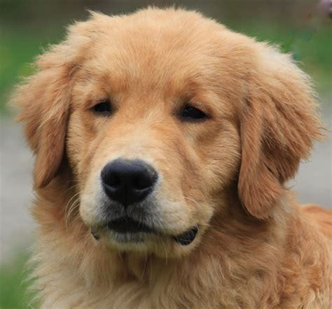 golden retrievers ma lazydaze farm golden retrievers border collies breeder ma