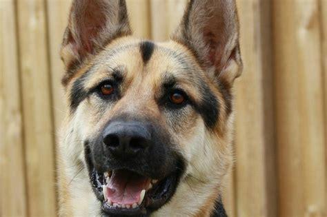 loyal breeds most loyal breeds dogvills