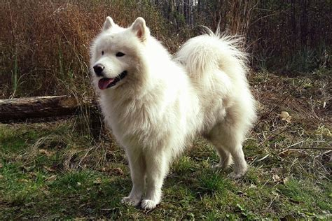 dogs and personalities breeds american eskimo temperament and personality dogalize