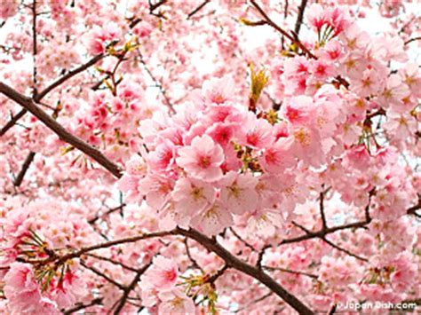 Cherry Blossom Tree Facts image gallery japanese country flower