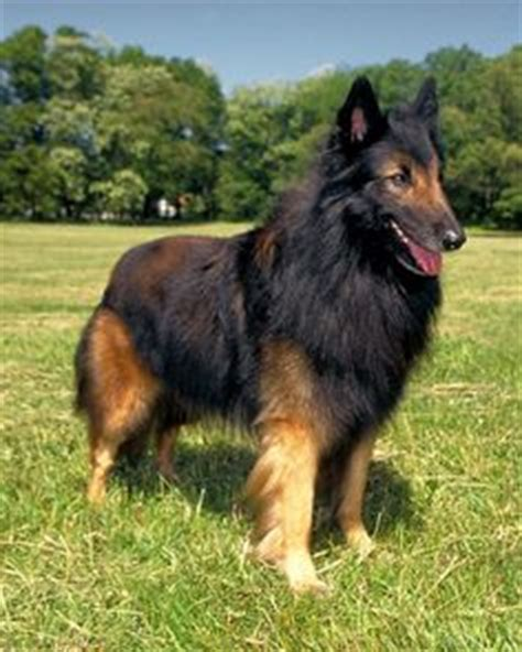 are there different types of rottweilers 1000 images about pets on belgian tervuren kittens and