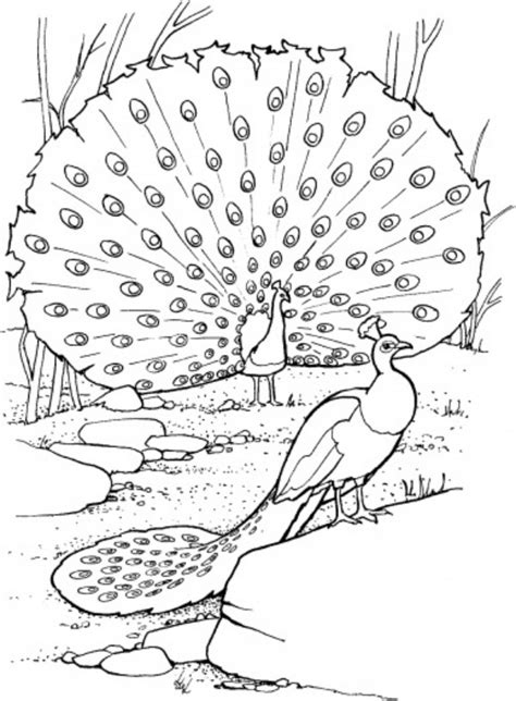 coloring page peacock free printable peacock coloring pages for