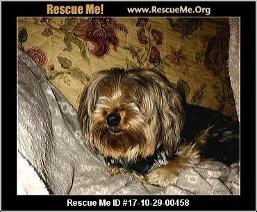 strawberry blonde yorkies west virginia yorkie rescue adoptions rescueme org