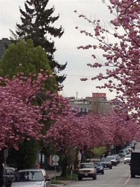 cherry tree kansas the last blossoms