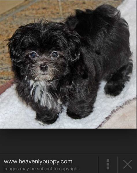 part poodle part shih tzu 17 best images about malshipoo on poodles teddy dogs and be ready