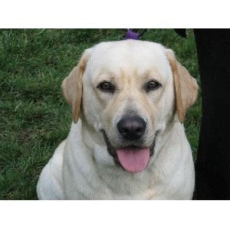 free puppies in maryland labrador retriever puppies for sale in maryland