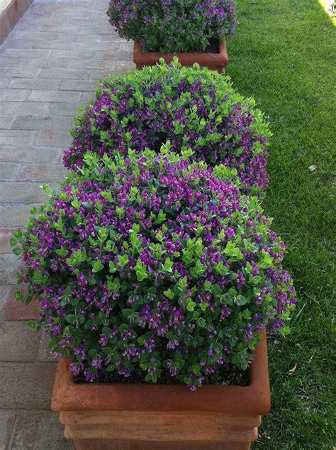 sun evergreen flowering shrub 25 best ideas about sun garden on