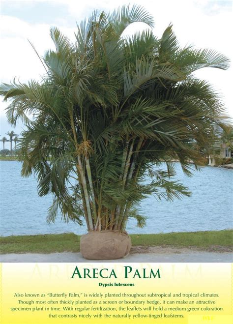 areca palm areca palm 1 walter knoll florist commercial service