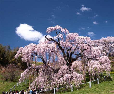 a cherry tree blossom your japan s three best cherry blossom trees soranews24