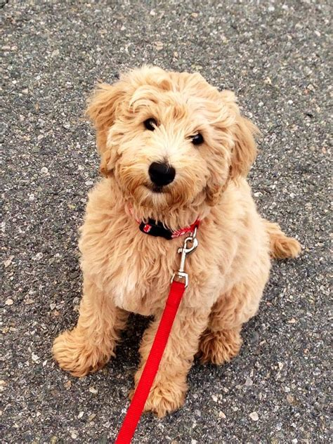 mini doodle information the gallery for gt mini f1b goldendoodle