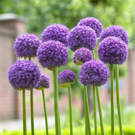 longfield gardens allium gladiator bulbs 3 pack 11000113 the home depot