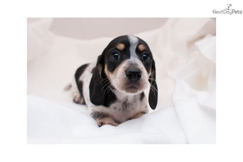 dachshund puppies for sale in birmingham al dachshund puppy for sale near birmingham alabama db12610e 1551