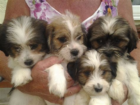 lhasa apso x yorkie puppies for sale fluffy puppies for sale and lhasa apso x yorkie kittens litle pups