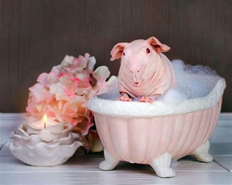 Pig In A Bathtub by