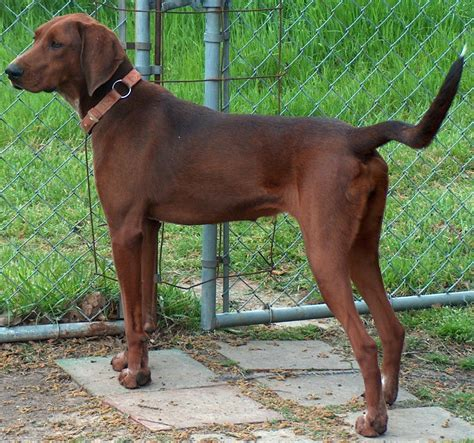 redbone coonhound breed guide learn about the redbone coonhound