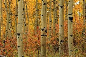Flowers Elk Grove - quaking aspen trees dance with life mnn mother nature