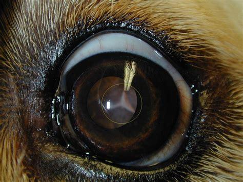 cataracts in golden retrievers golden retriever met driehoekjes cataract pictures