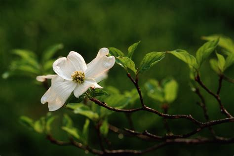 north carolina flower image gallery nc dogwood