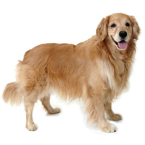 dogs similar to golden retriever golden retriever breed 187 information pictures more