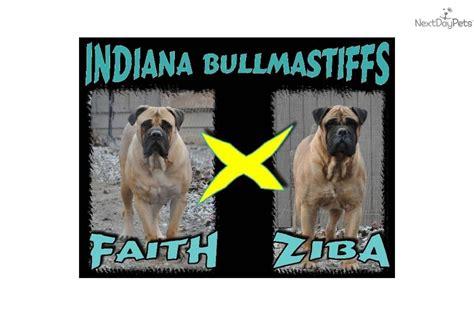 bullmastiff puppies for sale indiana bullmastiff puppy for sale near richmond indiana e364b903 61c1