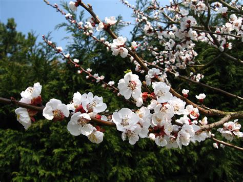 Tree Flower Of by File Apple Tree Flowers Jpg