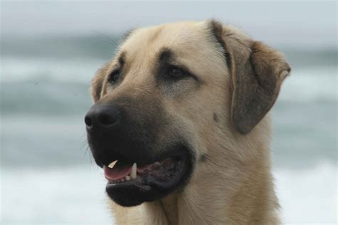 anatolian dogs anatolian shepherd pictures posters news and on your pursuit hobbies
