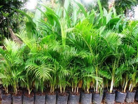 Bibit Sengon Banjarmasin bibit tanaman murah jual pohon palem di banjarmasin