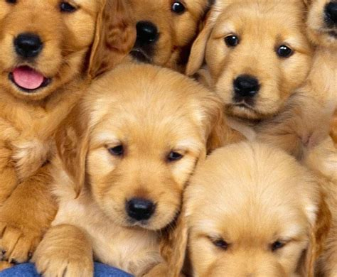 golden retriever shop golden retriever shop todo sobre el golden retriever perro shop