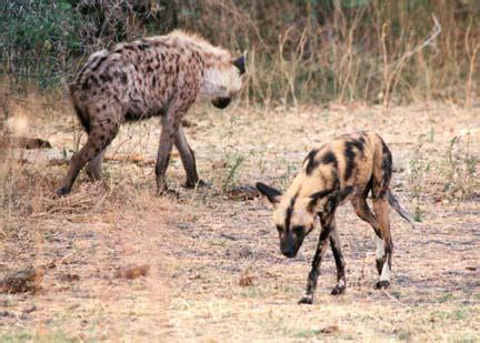 are hyenas dogs hyena vs