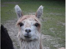 My Neighbors Llama Emperors New Groove